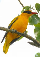 Indonesia Birding Tour to Tangkoko Nature Reserve