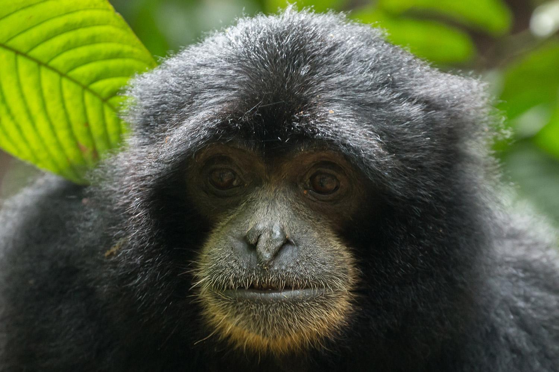 Endangered Sumatran lar gibbon Hylobates lar vestitus, in Gunung Leuser National Park